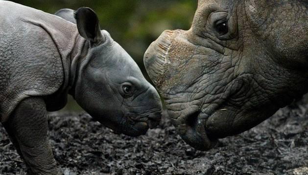 Un bebé rinoceronte y su madre