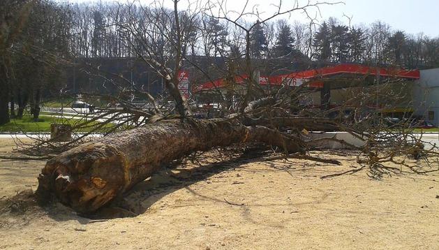 El castaño caído en Trinitarios el pasado lunes día 10 continúa en el mismo terreno sobre el que se desplomó