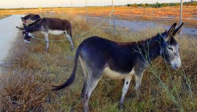 Unos burros pastando, aliados de excepción del Infoca, con los que cuenta este año en Doñana para prevenir incendios forestales