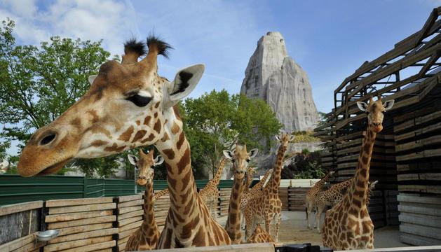 Jirafas, uno de los principales reclamos del zoo