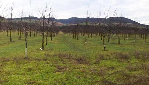 La plantación de árboles para obtener maderas nobles, situada en Echauri, una fotografía que figura en el informe de la Cámara de Comptos.