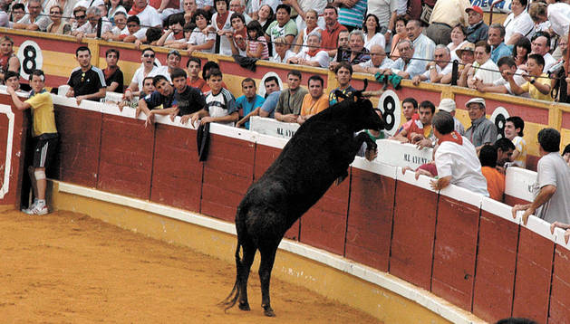 Una vaca intenta saltar al callejón de la plaza de toros de Tudela en la suelta posterior al encierro