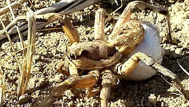 Fotografía facilitada por Rubén Rabaneda-Bueno de una tarántula hembra