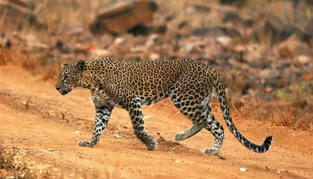 Fotografía facilitada por la Fundación para la Vida Salvaje en la India (WTI) de un leopardo en su hábitat natural
