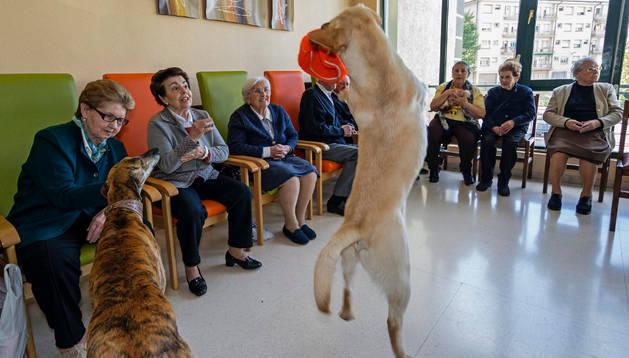 El labrador Ron salta para coger uno de los juguetes que luego entrega para seguir el ejercicio.