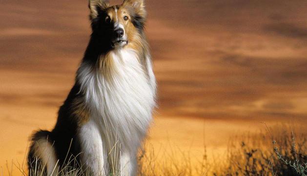 Un perro pastor de la misma raza que Lassie, el perro de la serie de televisión