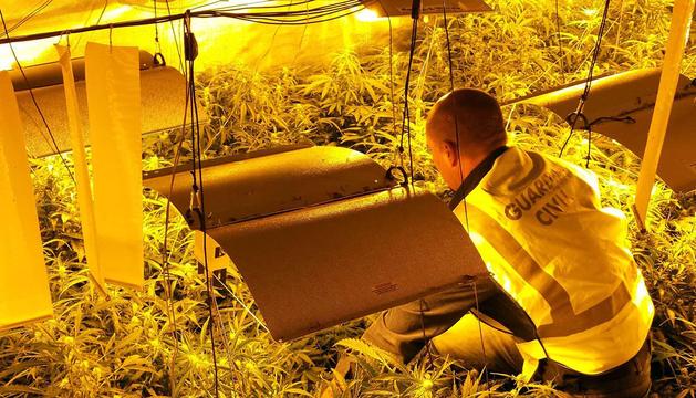 Un agente, con las plantas incautadas.