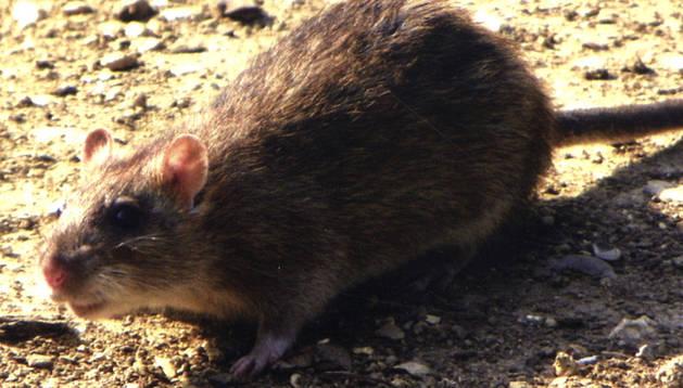 Una rata parda