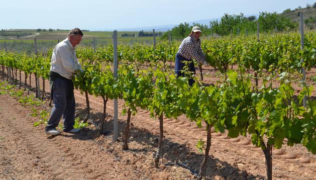 José María Suescun (izda.) y Miguel Echarri (drcha.) trabajan desparrando una viña situada en Las Roturas de Andosilla