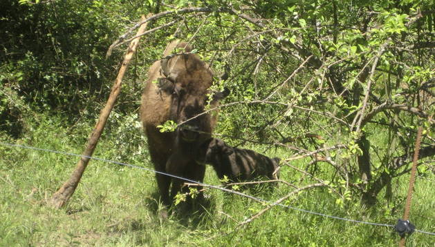 El primer bisonte europeo que nace en Asturias después de 10.000 años.