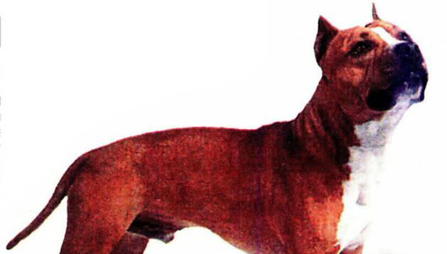 Un ejemplar de american stafforshire terrier