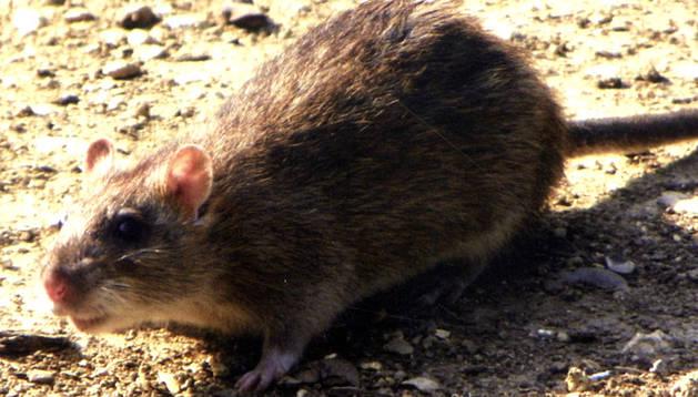 Una rata común