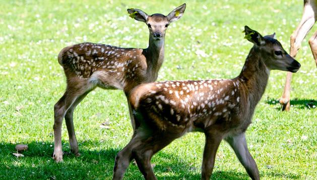 Nacen nuevas crías de ciervo en el parque de la Taconera