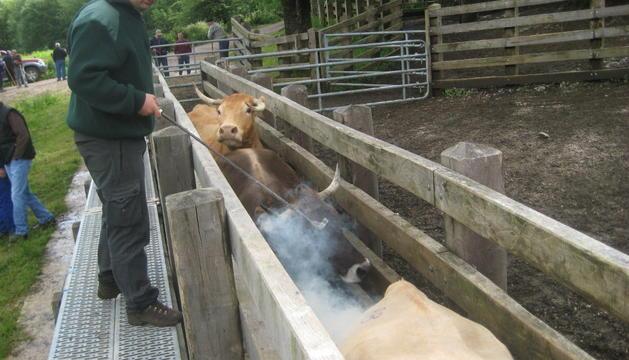 En una imagen de archivo, un guarda marca con el hierro de Baztan a vacas en Belate.