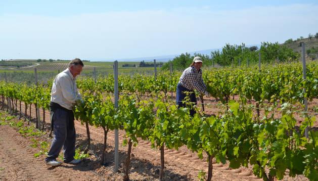 Un viñedo situado en el término de Roturas de Andosilla, incluido en la ampliación del Canal