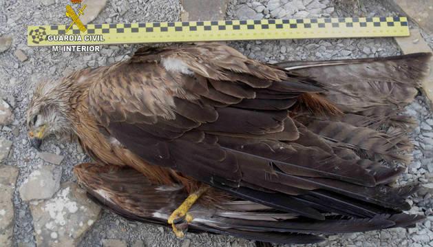 Un ave rapaz envenenada.