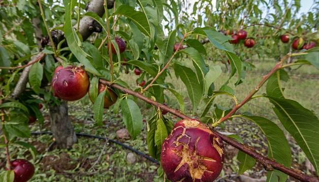 Nectarinas dañadas en el paraje del Sotillo, en Sartaguda.