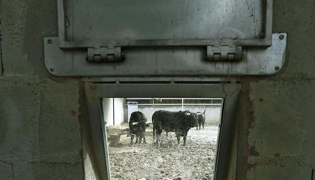 Una joven toma una fotografía a través de un cristal de varios de los toros de la ganadería de Garcigrande, este miércoles