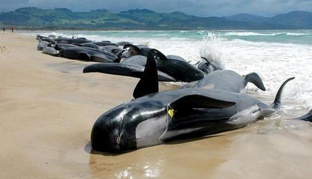 Ballenas piloto varadas en una playa de Nueva Zelanda.
