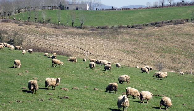 Un rebaño de ovejas latxas