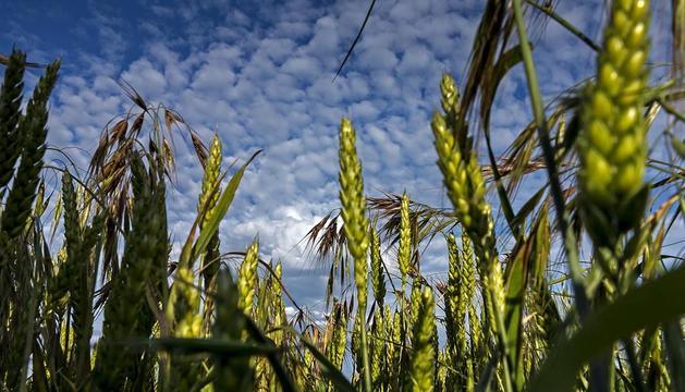 Campo de cereal en Ayegui.