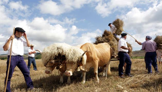 Jokin Ramírez, de Gartzain, vigila la pareja de vacas pirenaicas 'juñidas' al yugo, como dice en Salinas de Ibargoiti.