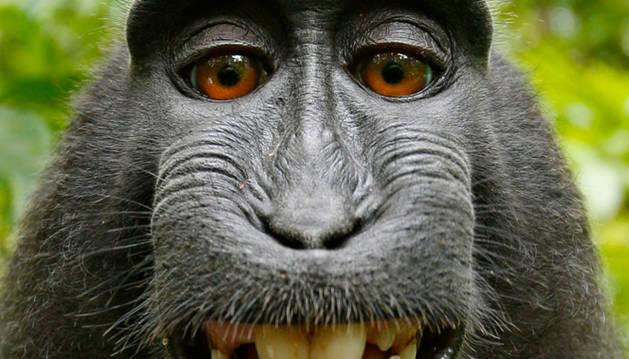 El 'selfie´del macaco.