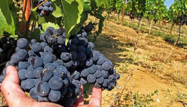 Un racimo de uva a punto de ser vendimiado. Este año, la cosecha va con cierto retraso