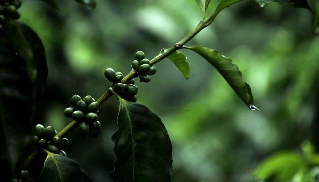 Una mata de café en Guatemala
