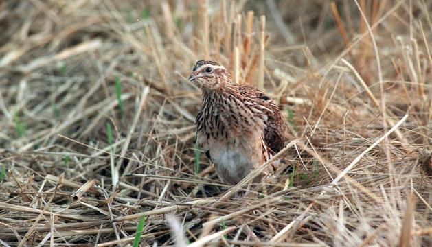 La codorniz, el ave principal de la media veda en Navarra