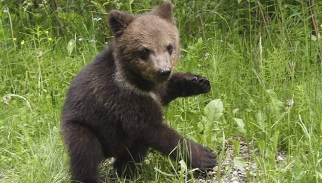 Uno de los osos pardos del centro