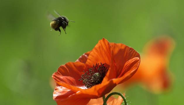 Una abeja en sus labores de recolección de polen.
