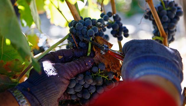 Una persona recoge uva en la vendimia de 2010