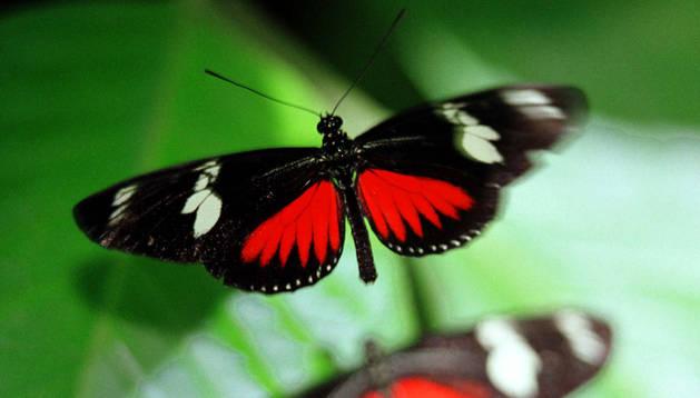 Un a mariposa papiliu.