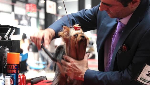 Un perro pasa por peluquería antes de ser presentado antes los jueces.