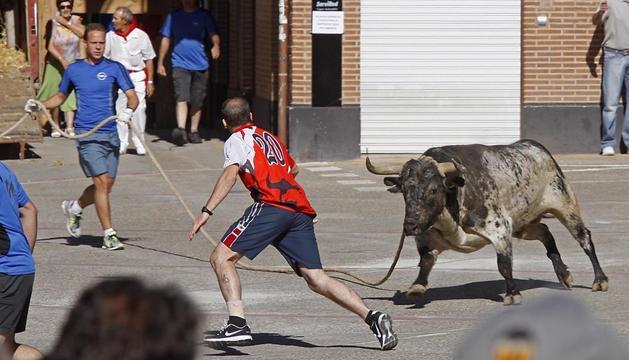 El toro ensogado, por la calles de Lodosa en las fiestas de 2013