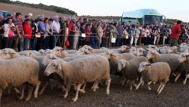 Varios espectadores presencian la entrada a Bardenas de un rebaño de ovejas en el paraje de El Paso.