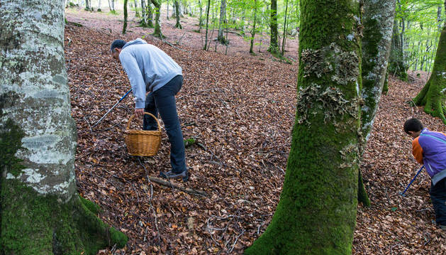 Cesta en mano y provisto de un bastón de apoyo, un aficionado busca setas entre la superficie de un bosque. Detrás, un menor emula su ejemplo.