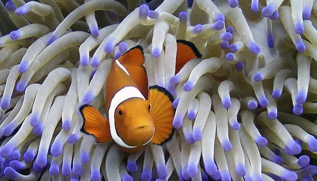Fotografía facilitada por la Autoridad del Parque Marino de la Gran Barrera de Coral, de un pez payaso entre anémonas