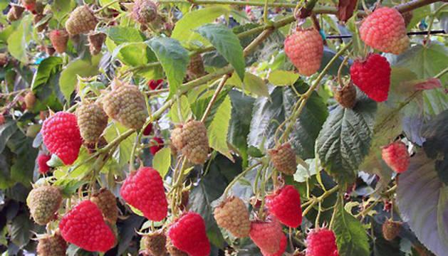 Plantas de frambuesa de la variedad Adelita