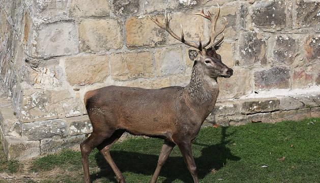 El Ayuntamiento decide sacrificar al ciervo que atacó a su cuidador