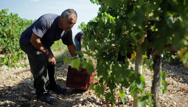 Concluye la vendimia con más de 75 millones de kilos de uva, un 8 % más