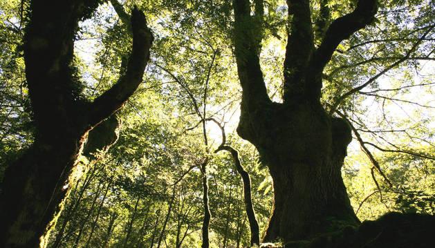 El bosque centenario de Artikutza, tema de la próxima charla
