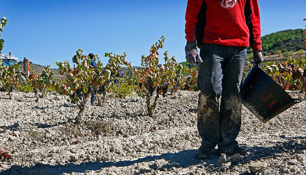 La crisis lleva a muchos extranjeros que viven en Navarra al sector agrario. En la foto, vendimia en Aras