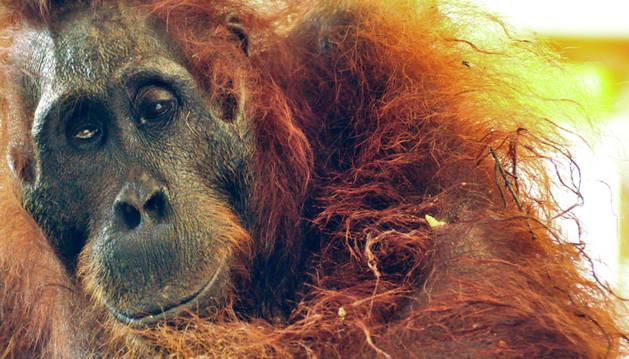 La orangután herida que murió