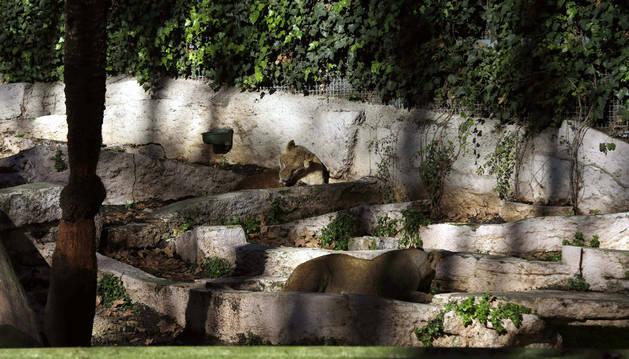 Un herido al caer en el recinto de los leones del zoológico de Barcelona