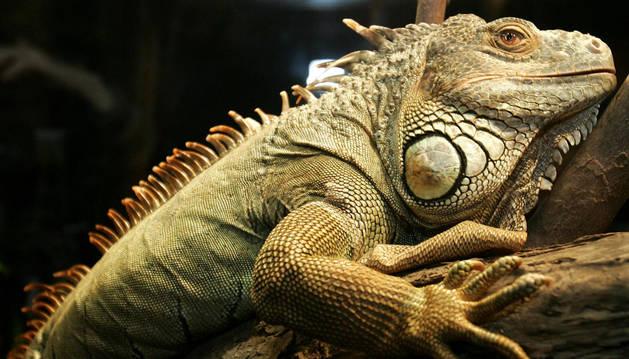 Iguana, ejemplo de animal exótico de compañía