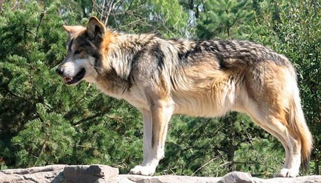 Un lobo de cabárceno