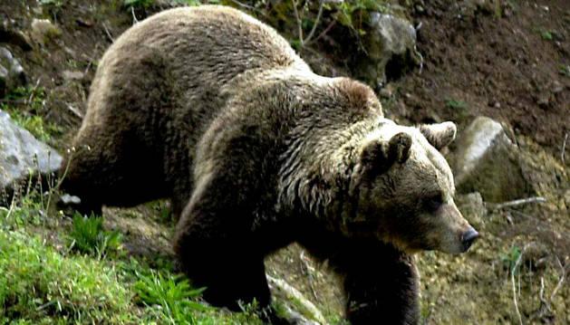 Un ejemplar de oso pardo en Asturias
