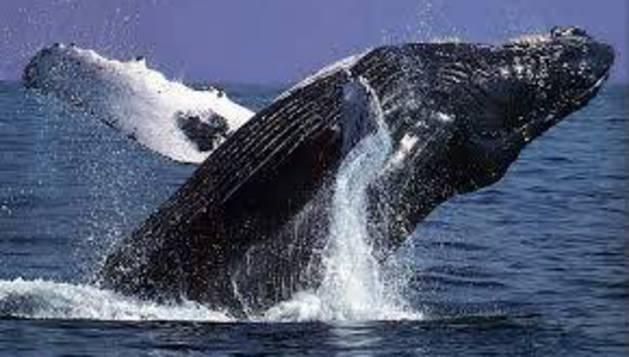 Los secretos que encierra la genética de las ballenas